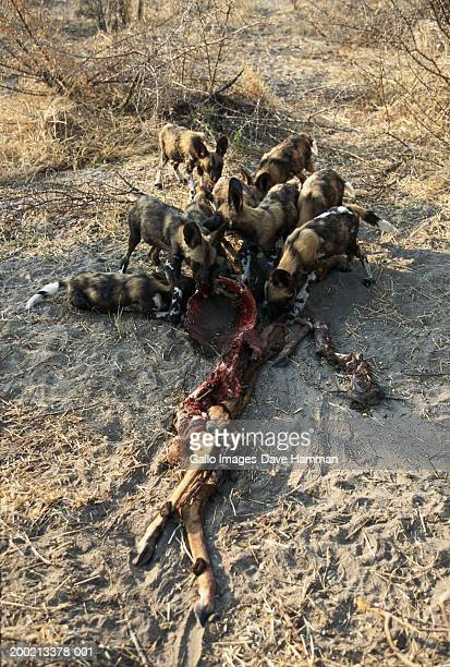 african wild dog pack (lycaon pictus) eating kill, elevated view - pack of dogs stock pictures, royalty-free photos & images