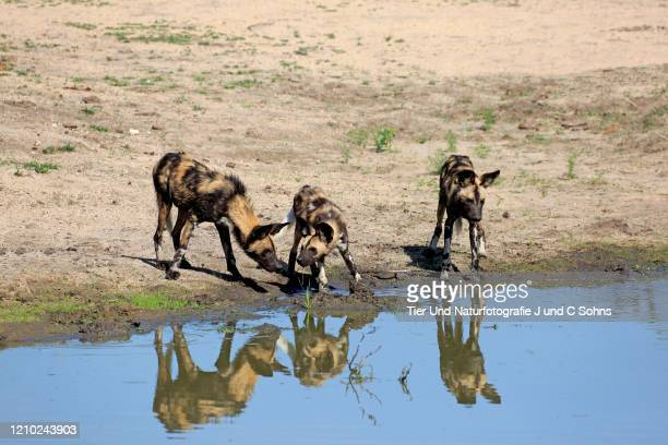 african wild dog, (lycaon pictus), pack of adults at water drinking, social behaviour, sabi sand game reserve, kruger nationalpark, south africa, africa - nationalpark stock pictures, royalty-free photos & images