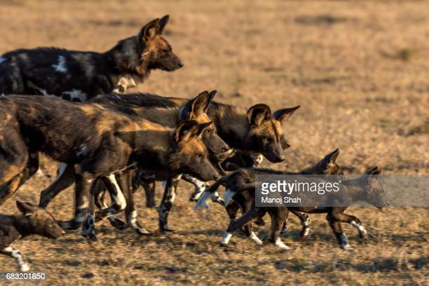 african wild dog pack - wild dog stock pictures, royalty-free photos & images