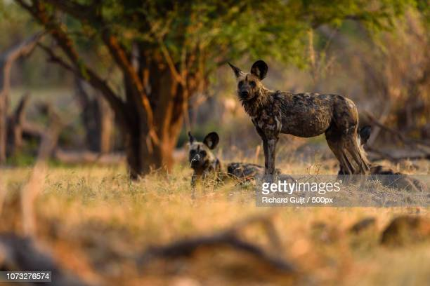 african wild dog (lycaon pictus) - wild dog stock pictures, royalty-free photos & images