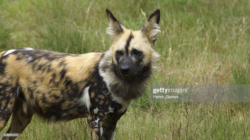 African Wild Dog : Stock Photo