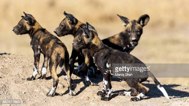 African Wild Dog puppies looking out
