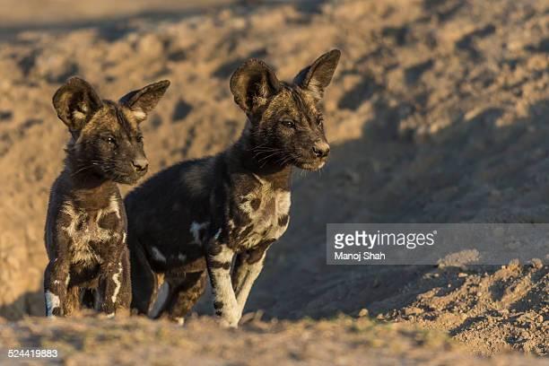 African wild dog puppies