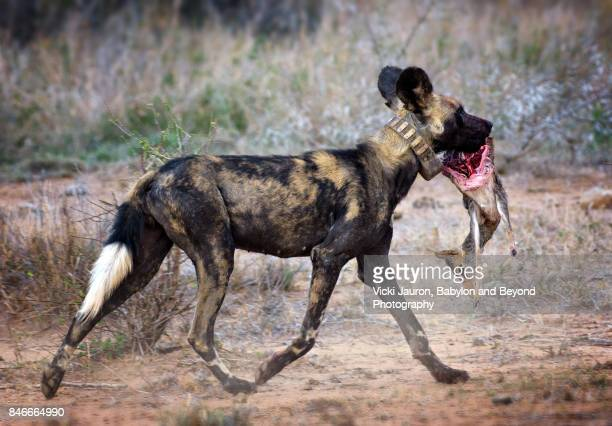 african wild dog running with dik dik in mouth - dead dog stock pictures, royalty-free photos & images