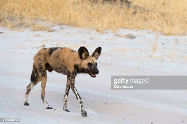 african wild dog (lycaon pictus), walking, savuti, chobe national park, botswana, africa - asiatische wildkatze stock-fotos und bilder