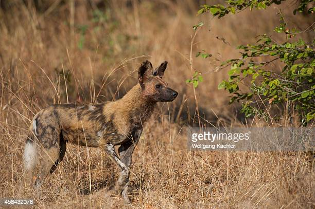 African wild dog walking through high grass in South Luangwa National Park in eastern Zambia
