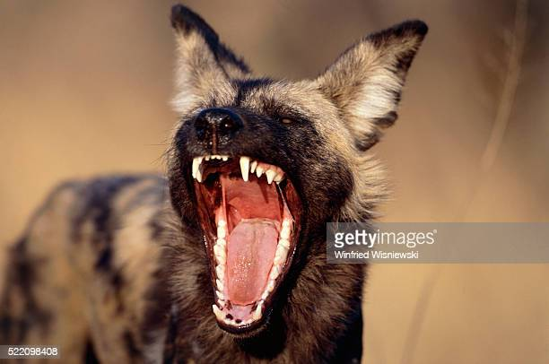 African wild dog with open jaw, Namibia