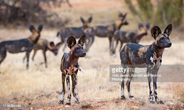 african wild dogs alert with ears up in samburu, kenya - wild dog stock pictures, royalty-free photos & images