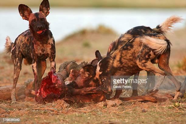 African wild dogs eating carcass, Mana Pools National Park, Zimbabwe, Africa