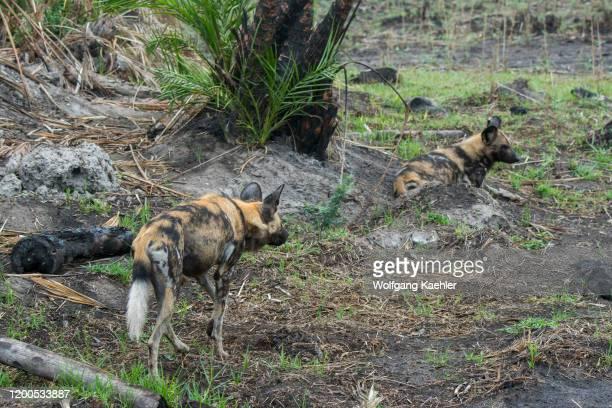 African wild dogs endangered animals looking for prey in the Jao concession Wildlife Okavango Delta in Botswana
