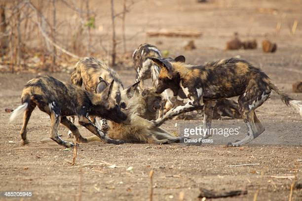 African Wild Dogs - Lycaon pictus - on juvenile baboon - Papio cynocephalus ursinus.  The adults caught three juvenile baboons & gave them to the pups in the pack to teach them how to kill