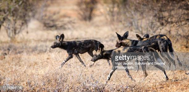 african wild dogs on the move while hunting in samburu, kenya - wild dog stock pictures, royalty-free photos & images