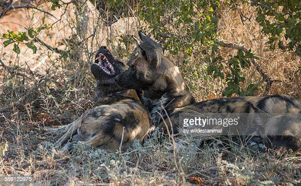 african wild dogs - pack of dogs stock pictures, royalty-free photos & images