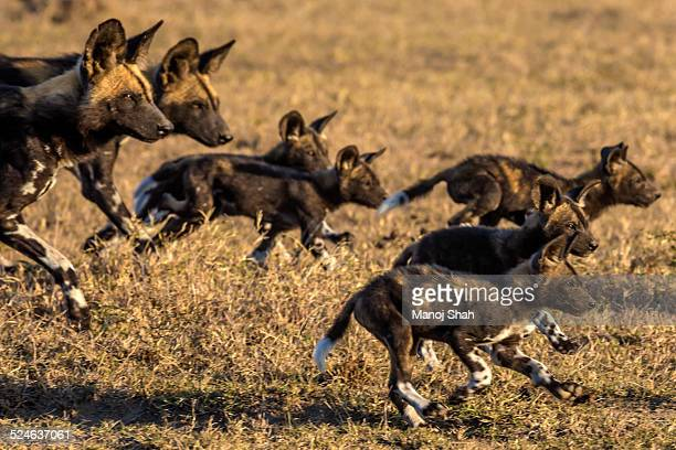 African wild dogs running