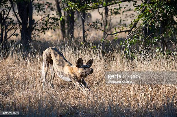 African wild dogs stretching after resting and before going hunting at the Linyanti Reserve near the Savuti Channel in northern part of Botswana