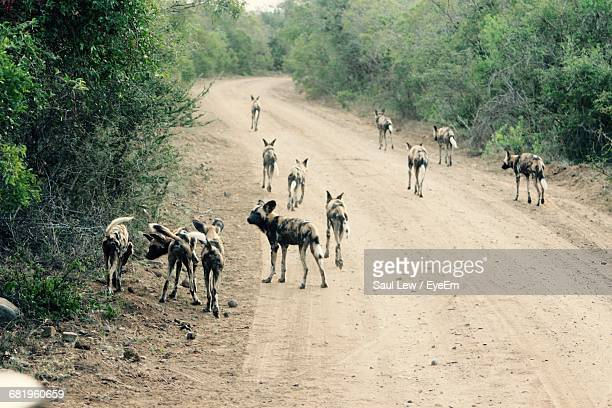 African Wild Dogs Walking On Dirt Road