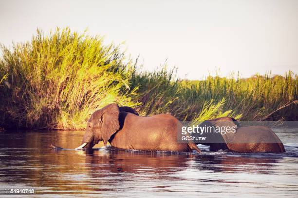 african wild elephants at zambezi national park - national park stock pictures, royalty-free photos & images