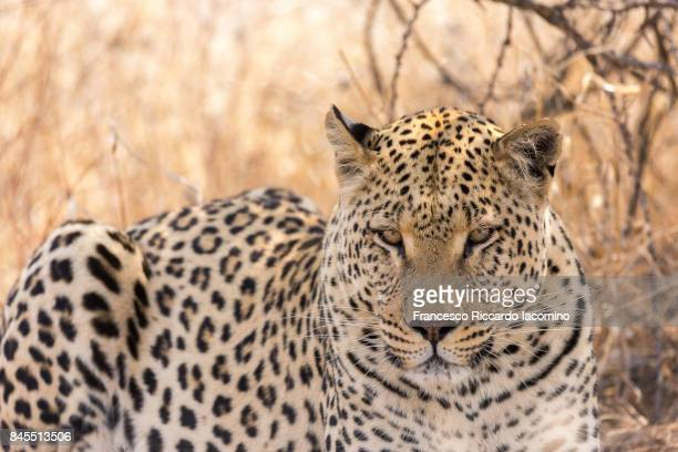 African wild leopard, Namibia