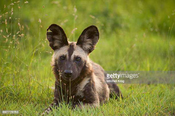 African Wild Painted Dog (Lycaon pictus) Portrait, Kruger National Park, South Africa