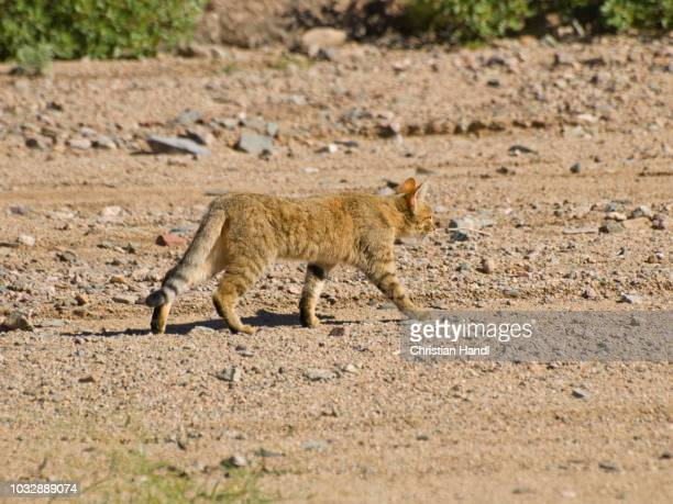 african wildcat (felis silvestris lybica), namibia - vista lateral stock pictures, royalty-free photos & images