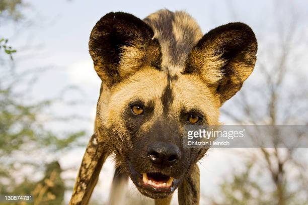 african wilddog (Lycaon pictus), Namibia, Africa