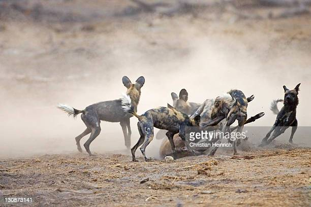 African wilddogs - Lycaon pictus - after a sucessfully hunt, they eat the kudu. Linyanti, Chobe National Park, Botswana, Africa