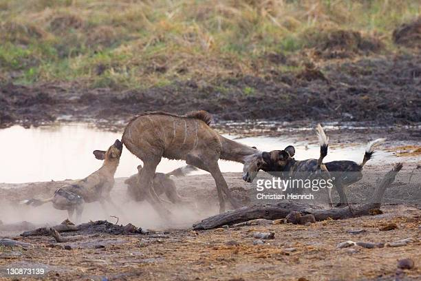 African wilddogs - Lycaon pictus - are hunting a carless young kudu. Linyanti, Chobe National Park, Botswana, Africa