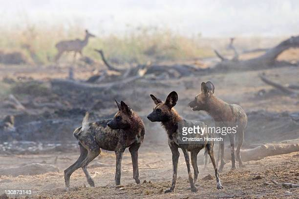 African wilddogs - Lycaon pictus - looks for the kudu. Linyanti, Chobe National Park, Botswana, Africa