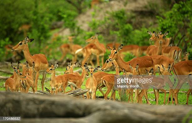 African wildlife impala Savute Botswana