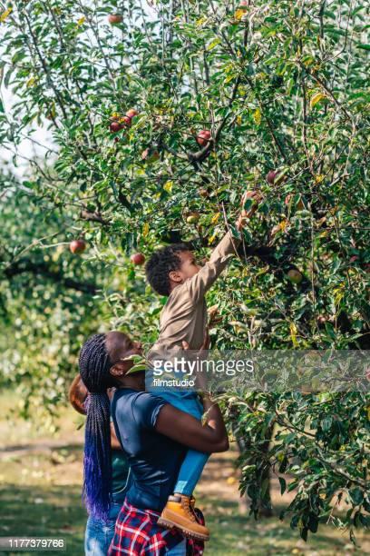 アフリカの女性と彼女の息子は、オーチャード秋にリンゴを摘む - 狩りをする ストックフォトと画像