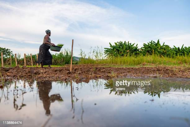 african woman going on field with bucket of rice plants - malawi stock pictures, royalty-free photos & images