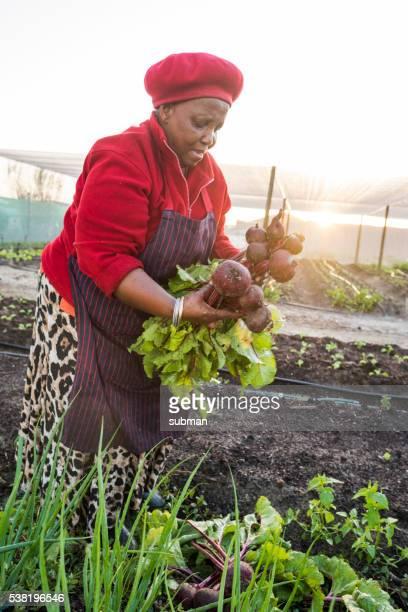 African woman harvesting beetoroot in her garden