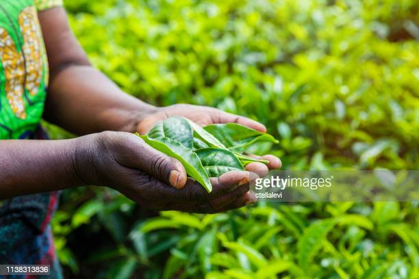 african woman holding tea leaves. rwanda - tea leaves stock photos and pictures