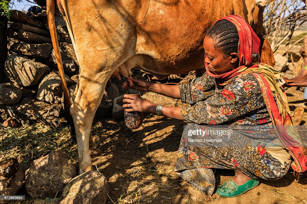 African woman milking a cow, Ethiopia, Africa : Stock Photo