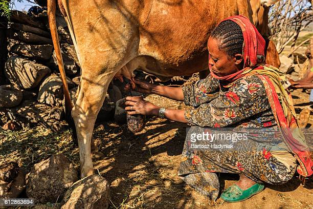 African woman milking a cow, Ethiopia, Africa