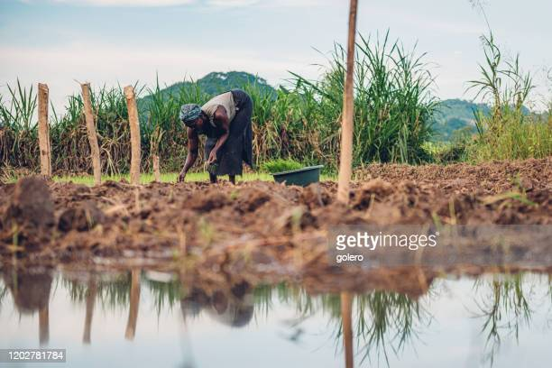 african woman planting rice - malawi stock pictures, royalty-free photos & images