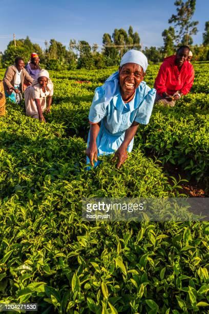 afrikaanse vrouwen die theebladeren op plantage, oost-afrika plukken - kenia stockfoto's en -beelden