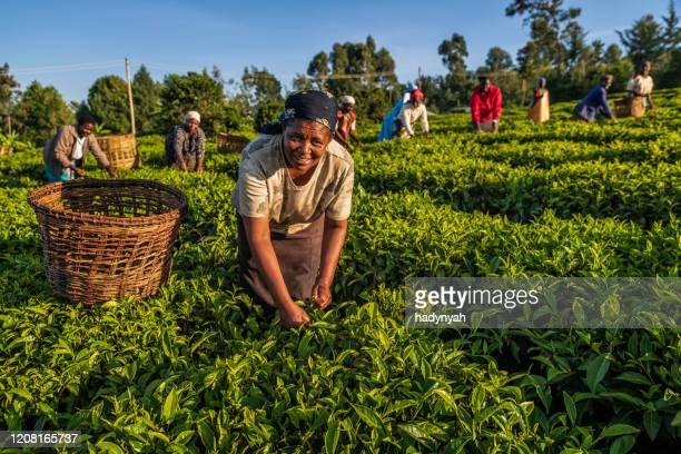 african women plucking tea leaves on plantation, east africa - africa stock pictures, royalty-free photos & images