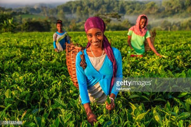 mujeres africanas arrancando hojas de té en la plantación, en el este de africa - actividad de agricultura fotografías e imágenes de stock