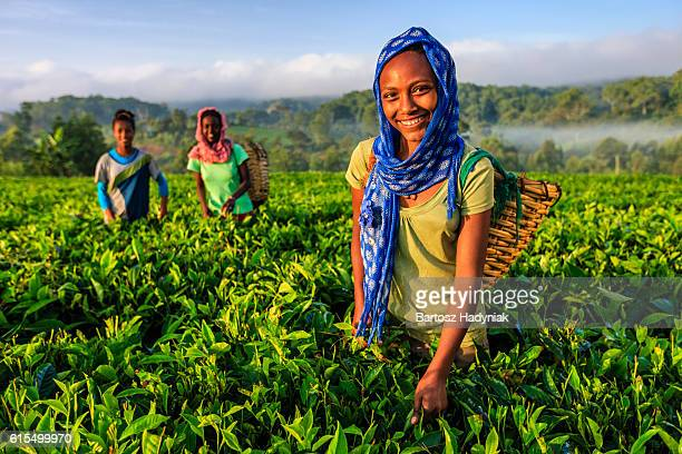 african women plucking tea leaves on plantation, east africa - afrika stockfoto's en -beelden