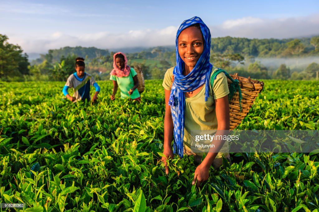 African women plucking tea leaves on plantation, East Africa : Stock Photo