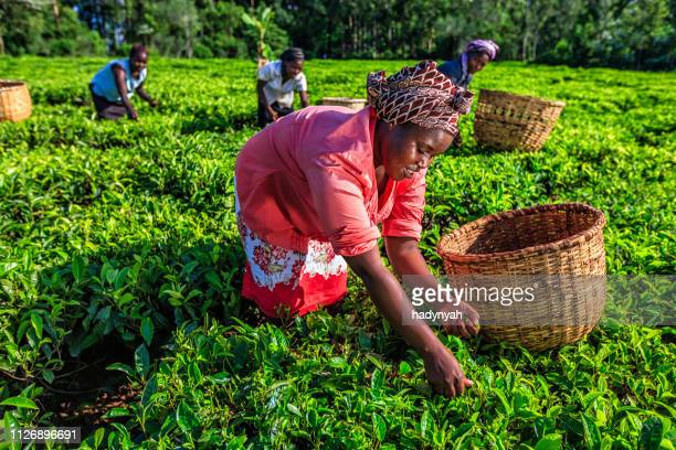 african women plucking tea leaves on plantation, kenya, east africa - kenya stock pictures, royalty-free photos & images
