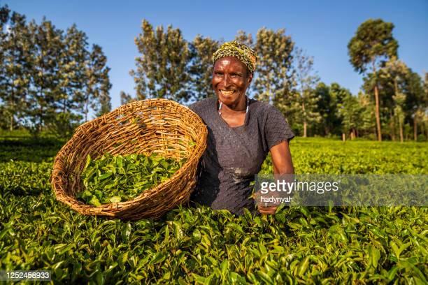 mujeres africanas arrancando hojas de té en la plantación, kenia, africa oriental - actividad de agricultura fotografías e imágenes de stock