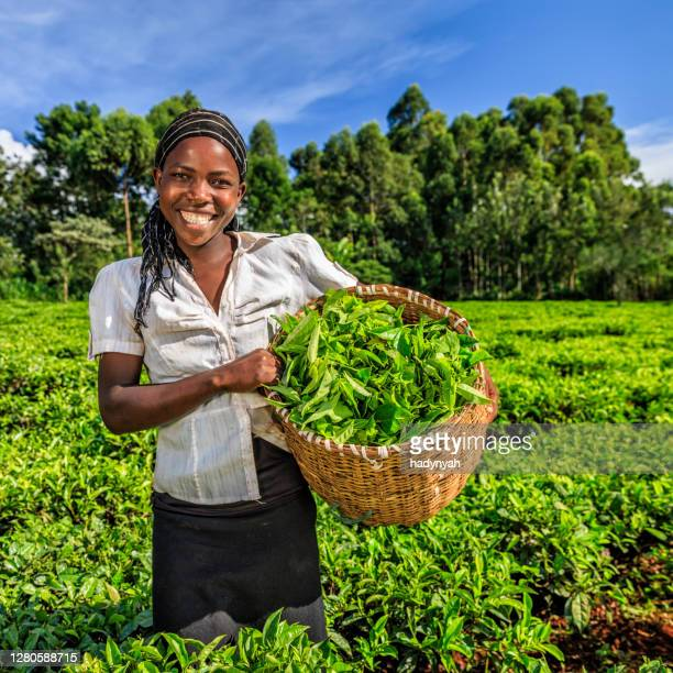 african women plucking tea leaves on plantation, kenya, east africa - kenya stock pictures, royalty-free photos & images