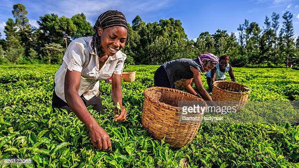 african women plucking tea leaves on plantation, kenya, east africa - tea leaves stock photos and pictures