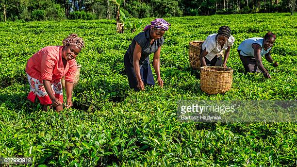 african women plucking tea leaves on plantation, kenya, east africa - flowering plant stock photos and pictures