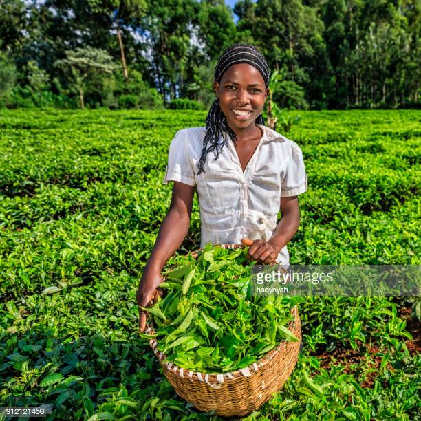african women plucking tea leaves on plantation, kenya, east africa - tea tree oil stock photos and pictures