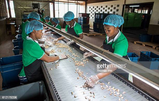 African workers of the MIM cashew processing company are sorting cashew nuts on a conveyor belt on September 07 2016 in Mim Ghana