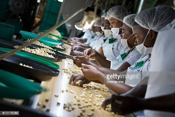 African workers of the MIM cashew processing company are sorting cashew nuts on September 07 2016 in Mim Ghana