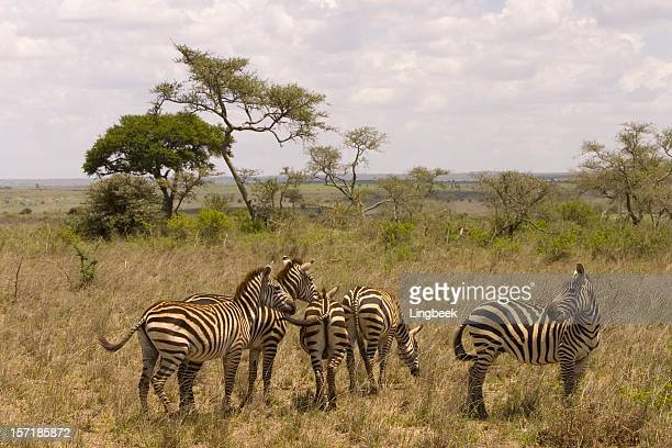 African zebras spotted on a Safari